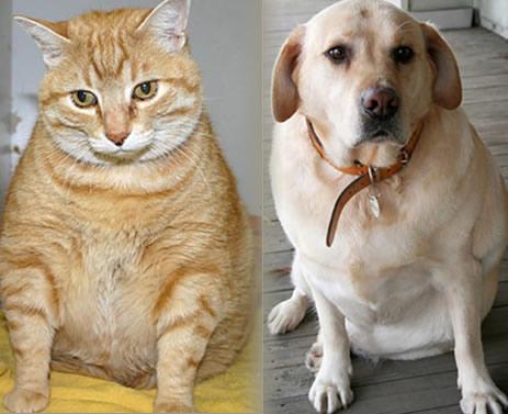 Informaci n sobre mascotas obesas - Novedades para mascotas ...